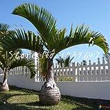 sanhoc 50 pezzi sago palm tree bonsai cycas revoluta tropical fossil facile da coltivare cycad bonsai per indoor pianta in vaso di trasporto: 23