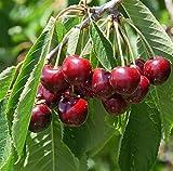 CILIEGIO SIMILE -PRUNUS AVIUM- AMARENA FRANCESE DA MARMELLATA - albero da frutto da esterno pianta vera