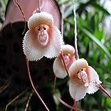 TENGGO Egrow 200 STÜCKE AFFE Gesicht Orchideen Samen Mehrere Sorten Pflanzen Garten Bonsai Blume - 3