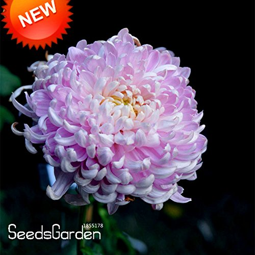 Big Sale! 100 pcs / sac Beau Graines Light Pink chrysanthème morifolium Graines Jardinage Fleur Plante en pot de bricolage, # OLUFMN