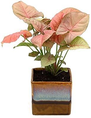 PlantaZee Beautiful Syngonium Pink Indoor Plant Choco Brown Pot
