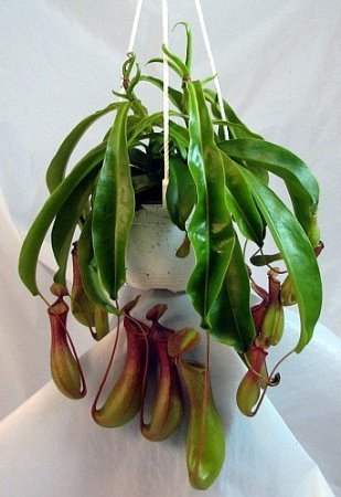 Asian Pitcher Plant  Nepenthes  Carnivorous  Exotic  6quot Hanging Basket