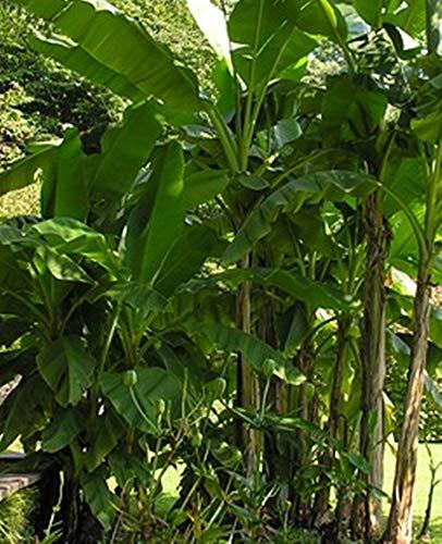 Darjeeling Banane - Musa sikkimensis (Manipur) - 50 Samen -