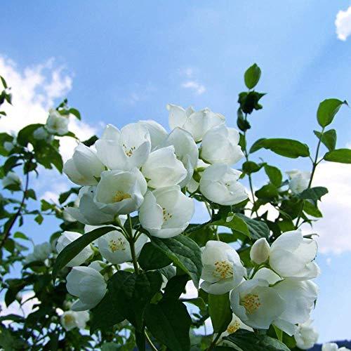 150PCS Cespuglioso Esuberante Semi di Gelsomino Fragranza Bella Bianco Piccolo Fiore Profumato Seducente Colore Puro Adatto Principianti Piantare Base Arbusto