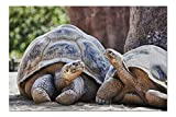 San Diego, California - Two Galapagos Tortoises Having a Conversation 9020071 (19x27 Premium 1000 Piece Jigsaw Puzzle for Adults, Made in USA!)