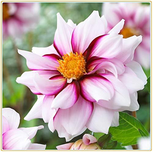 Dahlien-Blumenzwiebeln, modisches...