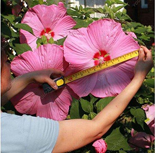 100 graines géant Hibiscus exotiques Graines Fleurs Corail jardin Bonsai rose et blanc Rare vivace Fleur Plante en pot pour le plaisir Noir