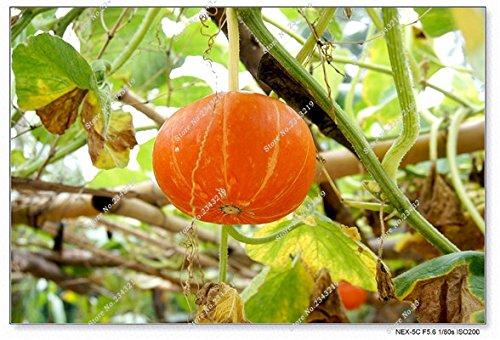 Graine de citrouille Cucurbita fil d'or citrouille Melon Fruits et légumes des semences meilleures ventes de l'extérieur, Bonsai 30 Plantes en pot 11 Pcs