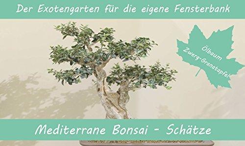 SAFLAX - Anzuchtset - Mediterrane Bonsai-Schätze - Mit 2 Samensorten, Gewächshaus, Anzuchtsubstrat, Zellfasertöpfen zum Umtopfen und Anleitung