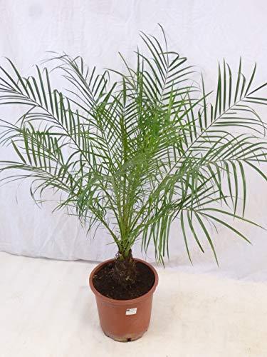 [Palmenlager] Phoenix roebelenii Zwergdattelpalme 130 cm/Stamm 10/20 cm/Zimmerpalme