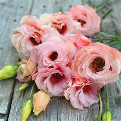 200pcs couleurs mélangées rares Eustoma Graines vivaces plantes à fleurs Lisianthus Graines Bonsaï Graines de fleurs pour jardin Plum