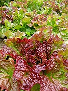 Prize Head Leaf Lettuce Seeds (40 Seed Pack)