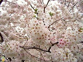 Yoshino Flowering Cherry Tree Live Established Rooted 1 Plant 1 Gallon Pot Gs002