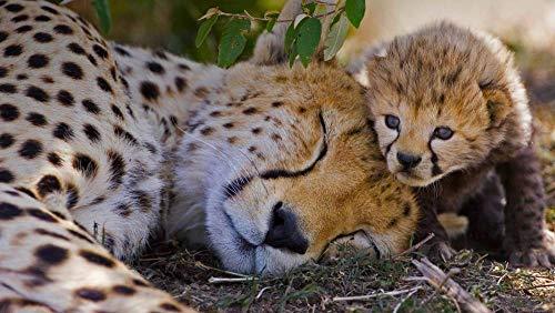PANDABOOM Puzzle 1000 Pezzi, Un Ghepardo Femmina E Il Suo Cucciolo di Una Settimana nel Masai Mara Game Reserve, in Kenya, Regali Unici Giocattoli Educativi Fai-da-Te (75 X 50 Cm)