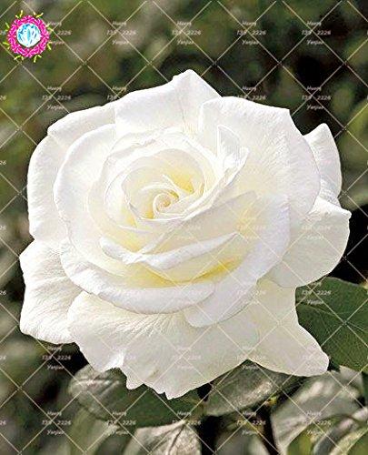 100PCS chinoise Rose Graines jaune Rose So Charming Bonsai Graines de fleurs vivaces Fleurs plantes pour jardin Décoration