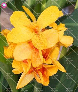 10 pcs nain Bonsai Canna Graines belles graines Fleur Magnifique feuillage vivace Plante en pot pour jardin 8