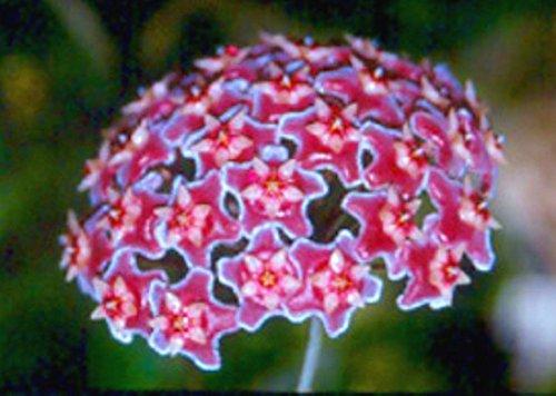 Hoya Plant Pubicalyx Silver Pink, sehr blühfreudig, wüchsig und pflegeleicht! Absolute Rarität!