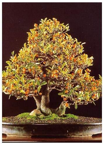 Tropica Bonsai eneno naranja (Citrus trifoliata) - 10 semillas