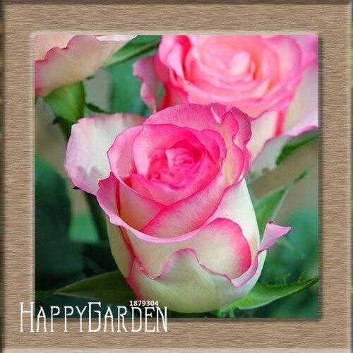 Kalash New 100pcs Rose Blumensamen für Garten Weiß Rosa 1