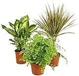 Zimmerpflanzen Grünpflanzen Mix nach Ihren Wünschen (3er Mix)