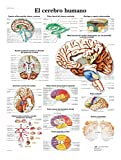 3B Scientific 4006871 VR3615UU Póster Anatómico, el Cerebro Humano