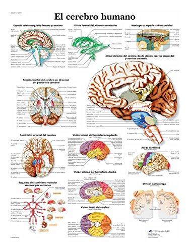 3B Scientific Póster Anatómico, el Cerebro Humano