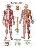 3B Scientific VR4620UU il Sistema Nervoso
