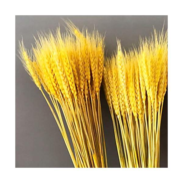 Cozyhoma Paquete de hojas de trigo seco dorado, decoración de trigo seco natural, decoración para el hogar, cocina, mesa…