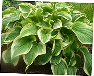 NAW 1 Quart Pot 1 Plant Fragrant Dream Hosta Heavy Established Perennial Rooted - RK29