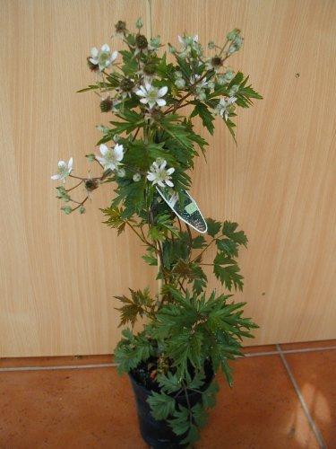 immergrüne dornlose Brombeere Rubus Thornless Evergreen 80 cm hoch im 2 Liter Pflanzcontainer