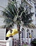 5 semillas de palma Kentia TPF219 (Howea Forsteriana)