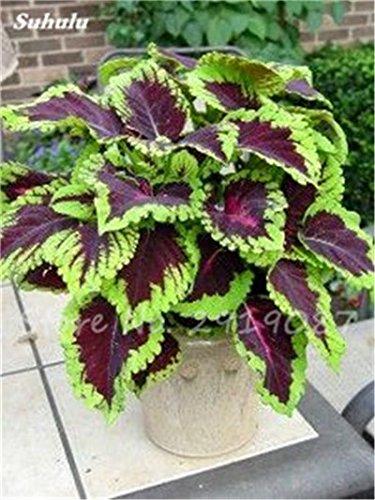 Janpanse Bonsai coleus Graines 50 Pcs Plantes feuillage couleur parfait arc Graines Belle mixte Fleur Flore Jardin Sement