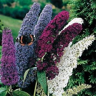 Best butterfly bush seeds Reviews