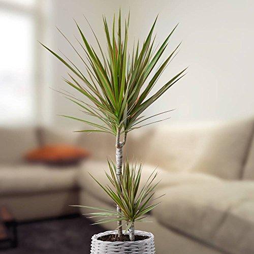 Dracaena standard Bicolore - 1 plante