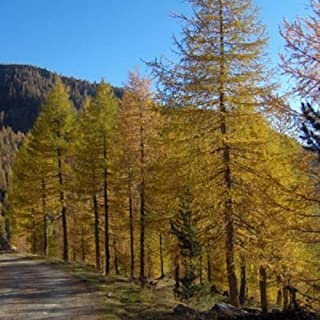 european larch for sale