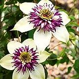 2pcs Clematis Lampen für Zu Hause Pflanzen Seltene Mehrjährige Markante Kompakte Blume Birne Wahre Outdoor Climber DIY Gartenarbeit Aussaat Jahr-runde