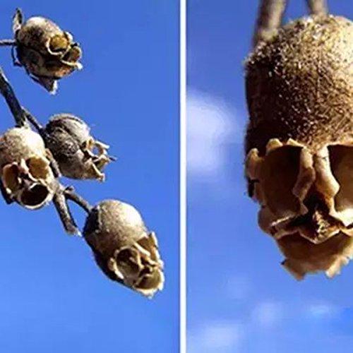 KINGDUO Graines De Plantes Egrow 100Pcs/Pack Antirrhinum Graines Outdoor Rare Summer Tree Fleur
