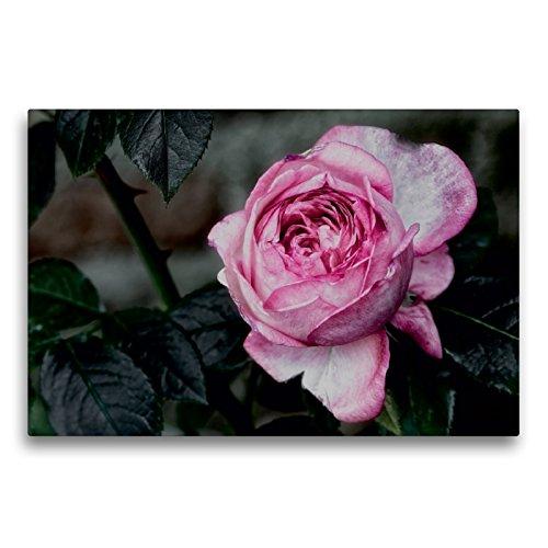 Premium Textil-Leinwand 75 x 50 cm Quer-Format Strauchrose La Rose de Molinard - Delbard 2008 | Wandbild, HD-Bild auf Keilrahmen, Fertigbild auf hochwertigem Vlies, Leinwanddruck von Dieter Meyer