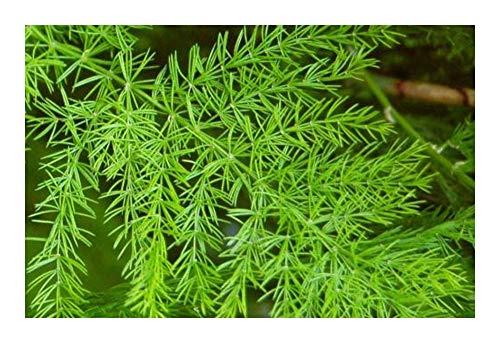 Asparagus racemosus - Shatavari - 10 graines