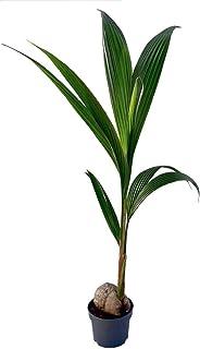 Coco nucifera - Palmera de interior - altura total aprox. 1,30m. - maceta 19cm. - planta viva - (envíos solo a península)