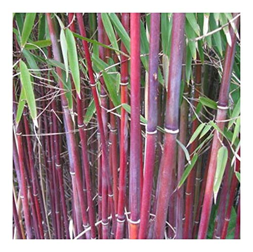Himalayacalamus falconeri - bambou rouge - 10 graines
