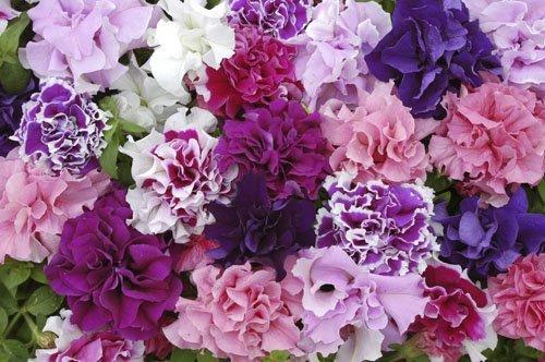 JustSeed Petunie, Double-Pirouette-Mischung, Blumen, 30 pilletierte Samen
