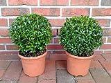 Blumen-Senf 2 Stück Buchsbaum Kugel  Durchmesser: 22 cm, Buxus