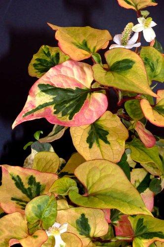 WFW wasserflora Chamäleon-Pflanze/Houttuynia Cordata Chameleon im 9x9 cm Topf