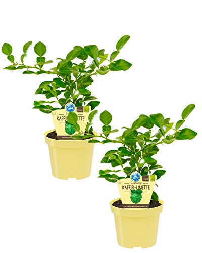 Bio zitronige Kaffir-Limette, (Citrus hystrix), Kräuter Pflanzen aus nachhaltigem Anbau (2 Pflanzen, je im 12cm Topf)
