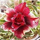 Rosa Del Desierto Planta,Plantas Orgánicas, Plantas Fuertes Y Hermosas,Regalo Ramo De Flores Al Aire Libre-6 Bulbos
