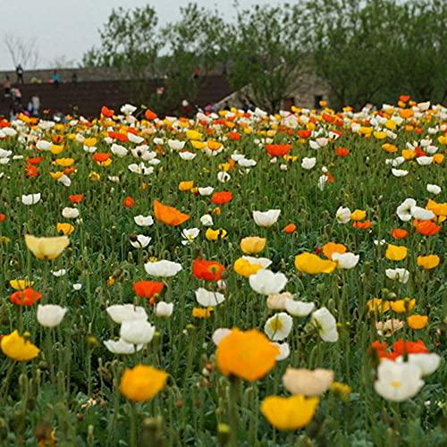Semillas para Germinar Brotes,Planta fácil de Vivir Semillas de Flores de Belleza islandesa-Color Mezclado_0.5kg,Perennes Semillas De Flores