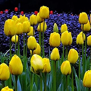 Yellow Tulip Bulbs(2 Bulbs) Hot Sale Home Garden Bouquet Decor Fashion Beautiful Flowers
