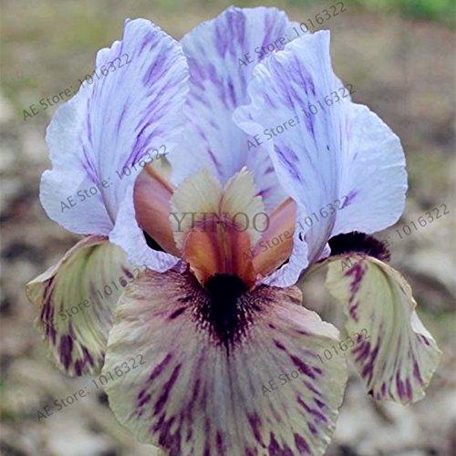 50pcs/sac graines Iris, fleur populaire de jardin de plantes vivaces, graines de fleurs rares coupe magnifique fleur pour la plantation jardin maison orchidées 2