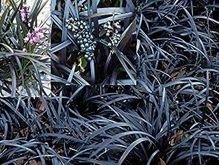 Jet Black Mondo Grass (Ophiopogon Planiscapus Nigrescens): 10 Live Starter Plants